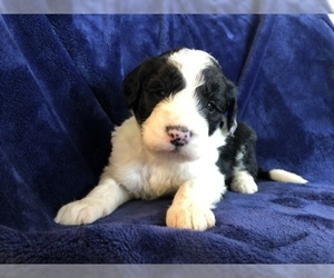 Sheepadoodle Puppy for sale in YELM, WA, USA