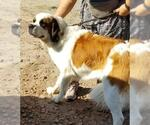 Small #13 Saint Bernard