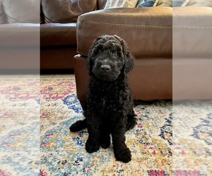 Goldendoodle Puppy for Sale in HARMONY, Florida USA