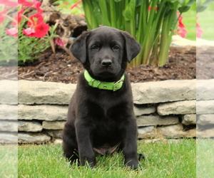 Labrador Retriever Puppy for sale in QUARRYVILLE, PA, USA