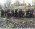 Small Chesapeake Bay Retriever