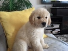 Golden Retriever Puppy For Sale in HICKORY, North Carolina,