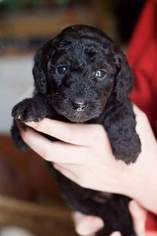 Labradoodle Puppy For Sale in FLORENCE, OR, USA