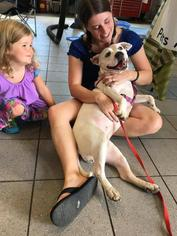 Mama Amorina - American Bulldog / Mixed Dog For Adoption