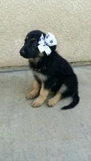 German Shepherd Dog Puppy For Sale in BAKERSFIELD, CA, USA