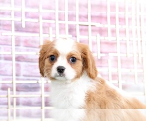 Cavalier King Charles Spaniel Dog for Adoption in BEL AIR, Maryland USA