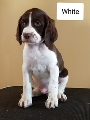 Brittany Puppy For Sale in BATAVIA, NY, USA