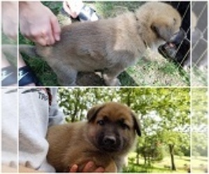 German Shepherd Dog Puppy for sale in ROLLA, MO, USA