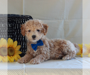 Poochon Dog for Adoption in GORDONVILLE, Pennsylvania USA
