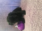 Shorkie Tzu Puppy For Sale in CLAY CITY, KY, USA