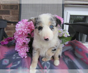 Border Collie Puppy for sale in CHESTER, IN, USA