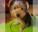Small #7 Yoranian-Yorkshire Terrier Mix