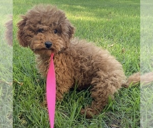 Poodle (Miniature) Puppy for sale in ROSEMEAD, CA, USA