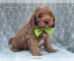 Small #11 Cocker Spaniel-Poodle (Miniature) Mix
