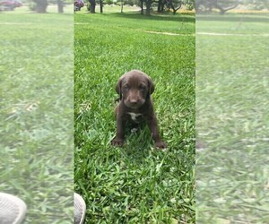 German Shorthaired Lab Puppy for Sale in BLACKWELL, Texas USA