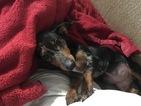 Dachshund Puppy For Sale in JAY, OK, USA