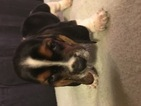 Basset Hound Puppy For Sale in TAYLORS, SC