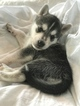 Beagle-Siberian Husky Mix Puppy For Sale in CHARLESTON, SC, USA