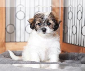 Zuchon Dog for Adoption in NAPLES, Florida USA