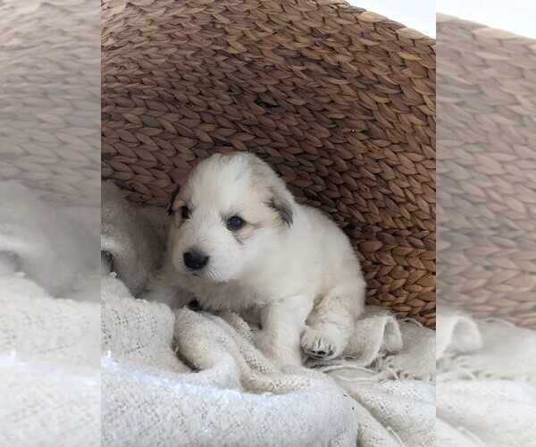 Medium Photo #18 Great Pyrenees Puppy For Sale in FALCON, CO, USA