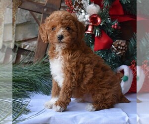 Poodle (Miniature) Puppy for sale in MILLERSBURG, PA, USA