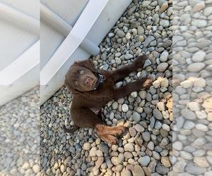 Labrador Retriever Puppy for sale in CHEHALIS, WA, USA