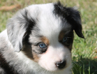 Miniature Australian Shepherd Puppy For Sale in WICHITA FALLS, TX