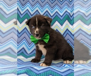 Labrador Retriever-Sharberian Husky Mix Puppy for sale in LINCOLN UNIV, PA, USA