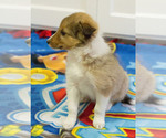 Small Photo #2 Shetland Sheepdog Puppy For Sale in MILWAUKEE, WI, USA