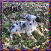 Blue Toy Small Mini Blue Merle Male Aussie