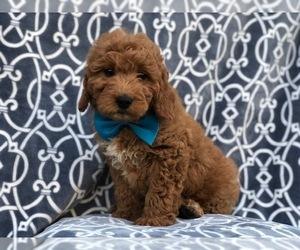 Goldendoodle-Poodle (Miniature) Mix Puppy for sale in LAKELAND, FL, USA