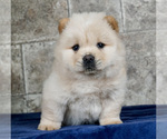 Puppy 14 Chow Chow