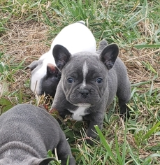 French Bulldog Puppy For Sale in BONE CAVE, TN, USA