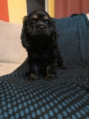 Cocker Spaniel Puppy For Sale in EVERETT, WA