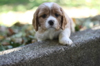 Cavalier King Charles Spaniel Puppy For Sale in GRESHAM, OR,