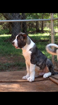Central Asian Shepherd Dog puppy