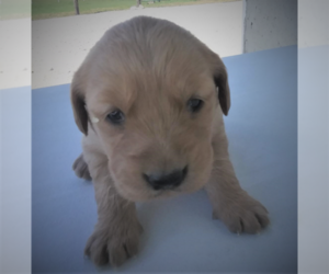 Golden Retriever Dog for Adoption in SOUTH BEND, Indiana USA