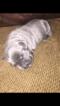 Cane Corso Puppy For Sale in JANE LEW, WV, USA