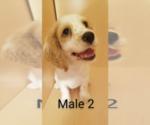 Small #5 Cocker Spaniel