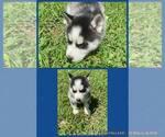 Puppy 2 Siberian Husky