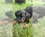Puppy 3 Golden Irish-Poodle (Miniature) Mix