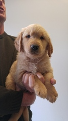 Golden Retriever Puppy For Sale in AURORA, IL