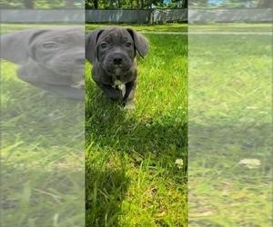 American Bandogge Puppy for Sale in JOLIET, Illinois USA