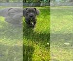 Puppy 1 American Bandogge