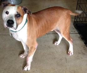 Richie - American Bulldog Dog For Adoption