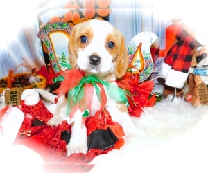 Beaglier Puppy for Sale in HAMMOND, Indiana USA