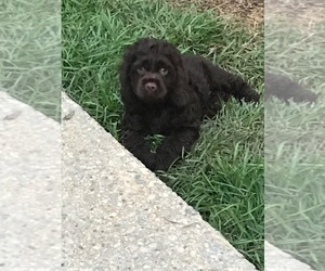 Cocker Spaniel Puppy for sale in TUSCALOOSA, AL, USA