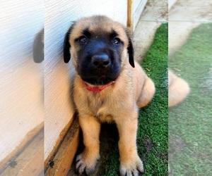 Mastiff Puppy for sale in FALLBROOK, CA, USA