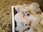 Labrador Retriever Puppy For Sale in MERRIMAC, WI, USA