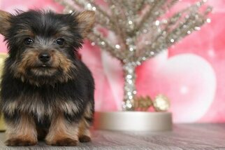 Medium Poodle (Toy)-Yorkshire Terrier Mix
